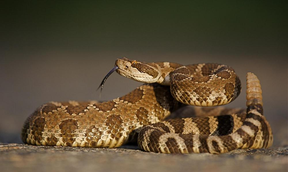 this is a photo of a rattlesnake whose bite can be vaccinated against by our vets in rancho cucamonga